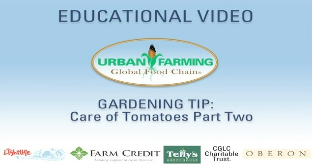 Educational Video- Care of Tomatoes: Part Two